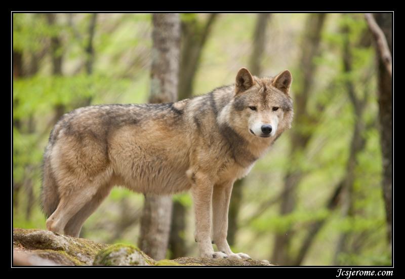 Très La maison des Loups CY42
